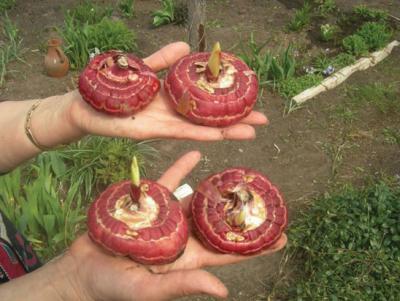 Гладиолусы беларуси